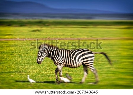 Blurred image of a moving Zebra in the Serengeti National Park, Tanzania - stock photo