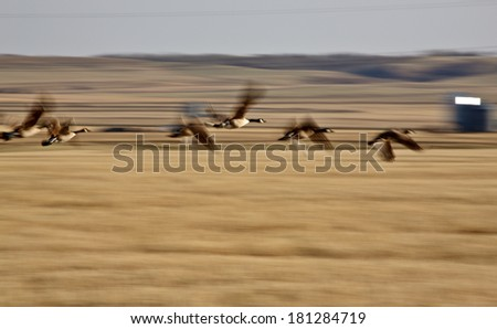 Blurred image of Canada Geese in flight - stock photo