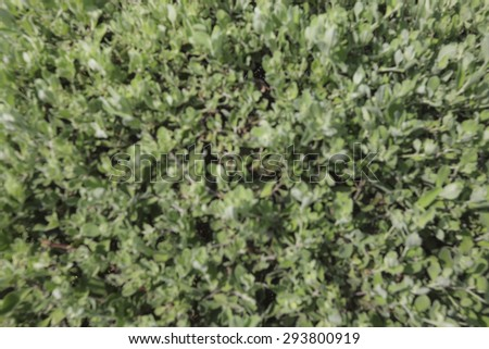 Blurred image of Privet Hedge green leaves. - stock photo