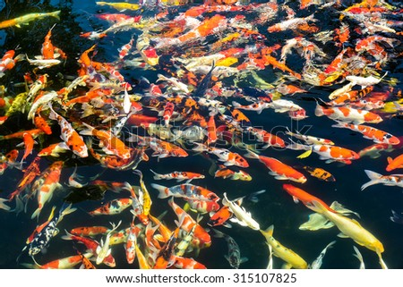 blurred Koi carps swimming in the pond - colorful background - stock photo