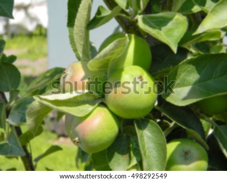 Blurred natural background of green apples ripen on a branch in august garden