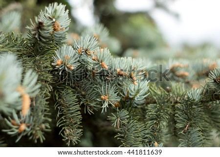 Blurred nature background with fir branch