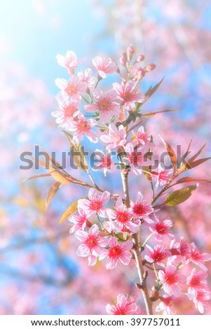Blurred of Sakura flowers blooming. Beautiful pink cherry blossom in the pastel color style for background. - stock photo