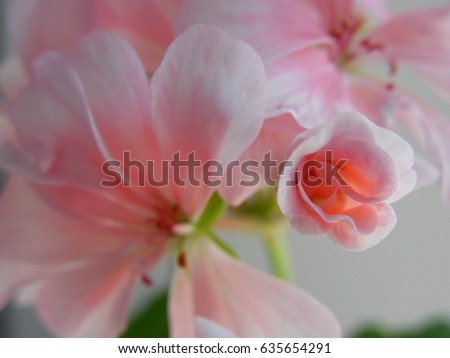 Blurred pink background of geranium flowers