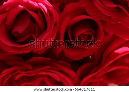 Blurred roses backdrop background. Red roses close up. Rose texture photo.