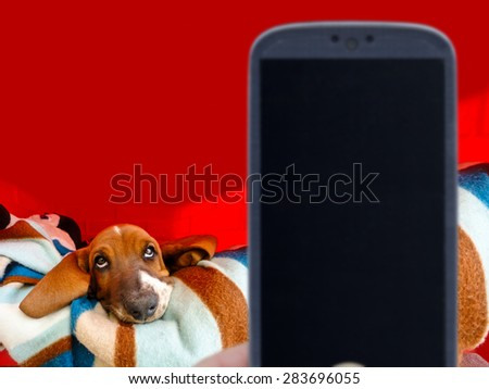 Blurred smartphone on front and on back a focused basset tired of taking photo of him.  - stock photo