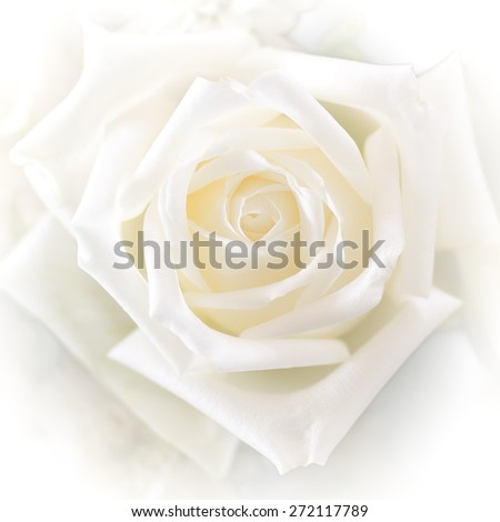 Blurred soft style white rose for background with white vignette  - stock photo