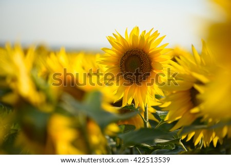 Blurred sunflower field close up selective focus - stock photo