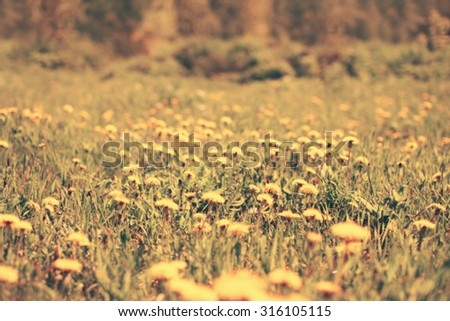 Blurred sunny photo meadow of many yellow dandelions flowers, vintage background - stock photo