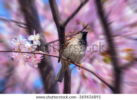 Blurred view of spring sparrow on blossoming sakura tree in Moscow - stock photo