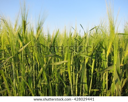 Blurred view of the horizon and the sky with clouds through the green ears of wheat (rye) in the field