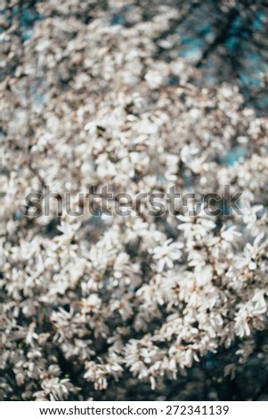Blurred white Magnolia flowers, blooming background. - stock photo