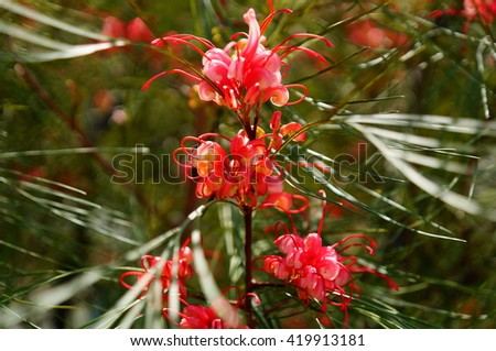 Blurry Grevillea flower And Blurry Background - stock photo