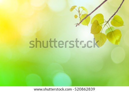 Bo leaves green In spring or Beautiful in blurred nature over sunset or background.art design light branch color sun.Beautiful leaves over blurred nature over golden tree chistmas concept.