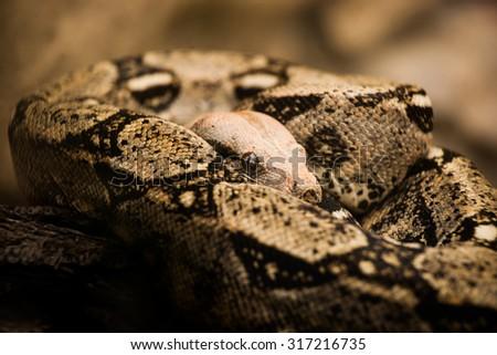 Boa Constrictor - stock photo