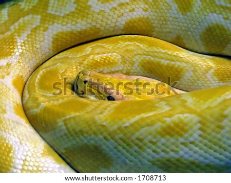 boa constrictor, a python in a fold up position - stock photo
