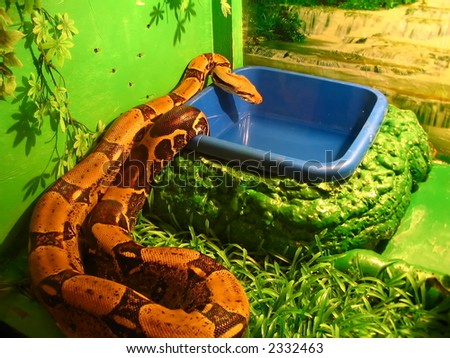 boa constrictor drink water in the serpent-zoo - stock photo