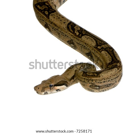Boa constrictor in front of a white background - stock photo