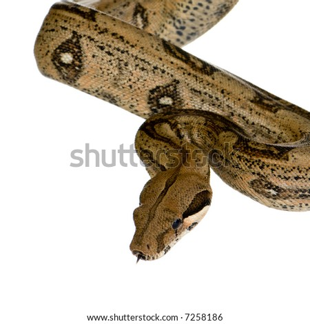 Boa constrictor in front of a white background