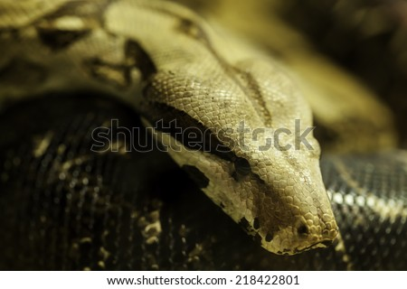 boa constrictor on tree - stock photo