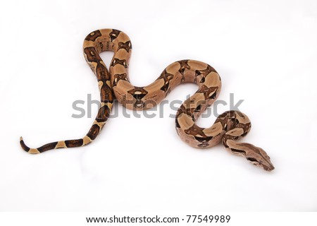 Boa constrictor on white background - stock photo