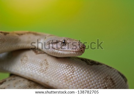 Boa constrictor reptile snake close up macro portraiton green blurred background