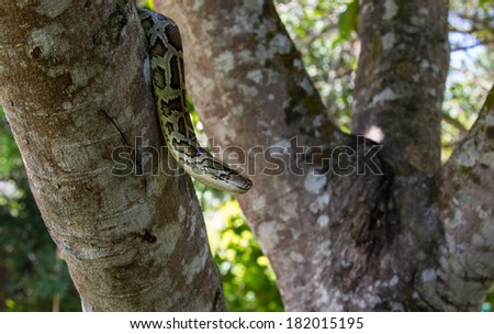 Boa constrictor  snake  on tree