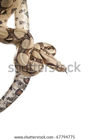 Boa snake (Boa constrictor constrictor) isolated on white background - stock photo