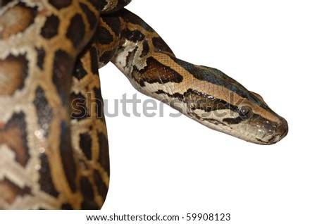 boa snake close up isolated on white - stock photo