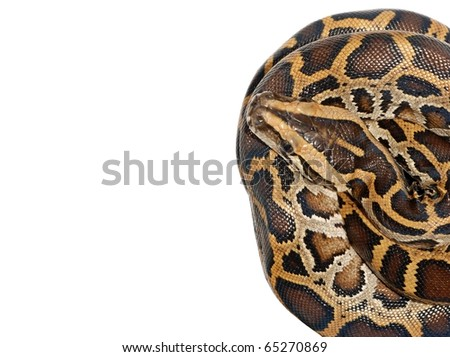 boa snake close up isolated on white - stock photo
