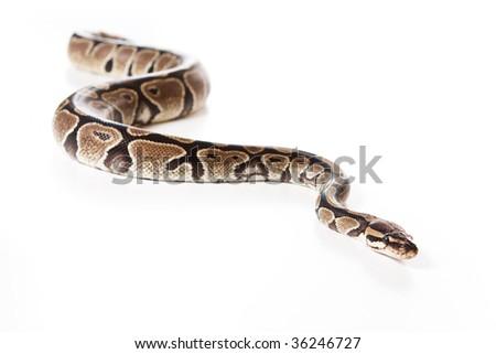 Boa snake isolated on white - stock photo
