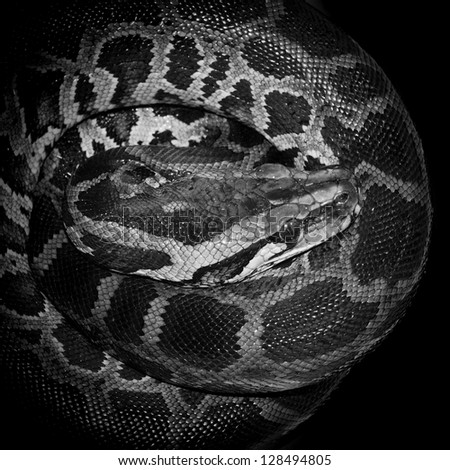 Boa snake reticulated python - stock photo