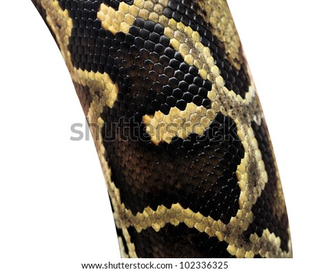 Boa snake skin pattern from alive body isolated on white with clipping path. - stock photo