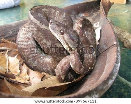 Boa tree snake - stock photo