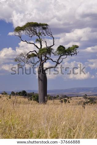 Boab tree - stock photo