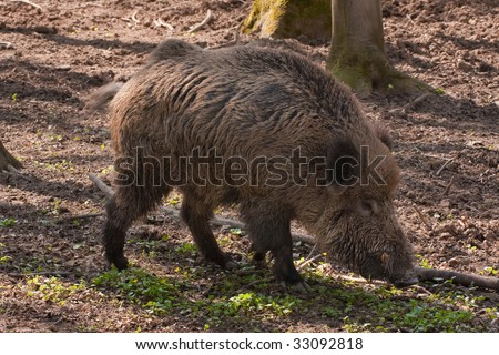 boar feeding in the forest - stock photo