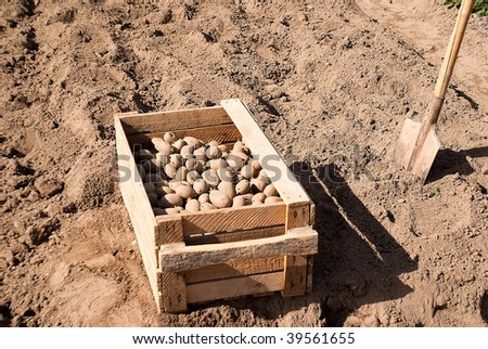 boarding in ground of the potatoes