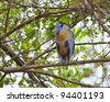 Boat-billed Heron sitting in a tree in the mangroves - stock photo