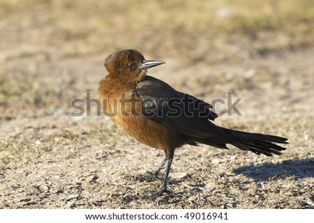 boat-tailed grackle,  quiscalus major