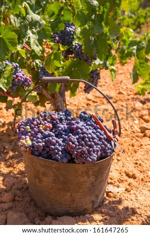 bobal harvesting with wine grapes harvest in Mediterranean