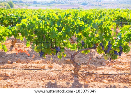 Bobal Wine grapes in vineyard raw ready for harvest in Mediterranean - stock photo