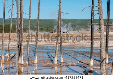 Bobby sox trees at a geyser basin in Yellowstone National Park Wyoming. - stock photo
