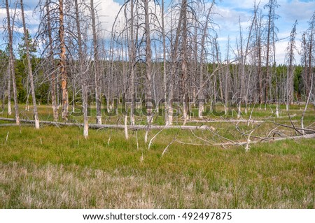 Bobby sox trees in a thermal area of Yellowstone National Park Wyoming.