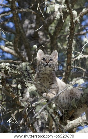 Bobcat kitten gets stuck in a tree - stock photo