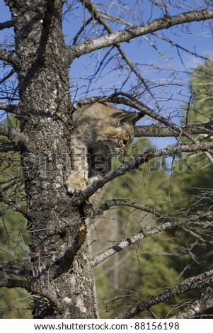 Bobcat kitten gets stuck in a tree and tries to get down - stock photo