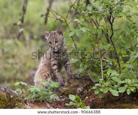Bobcat Kitten Hiding in the Brush - stock photo