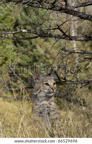 Bobcat kitten in the woods - stock photo