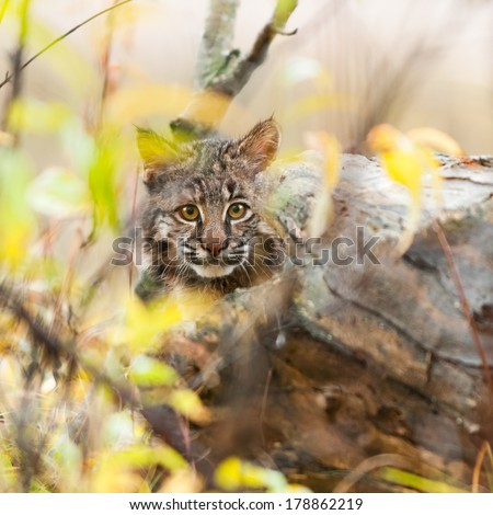 Bobcat Kitten (Lynx rufus) Hides - captive animal - stock photo