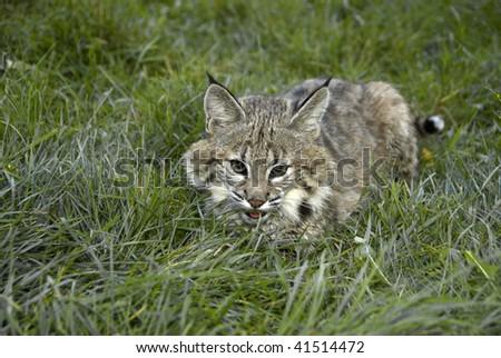 Bobcat kitten (lynx rufus) hides in grass. - stock photo