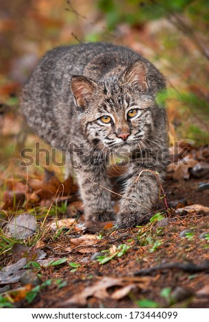 Bobcat Kitten (Lynx rufus) Stalk - captive animal - stock photo